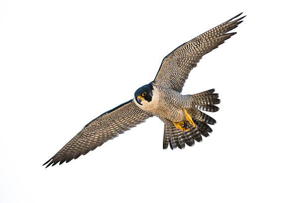 peregrine flight - falcon bird stock photos and pictures