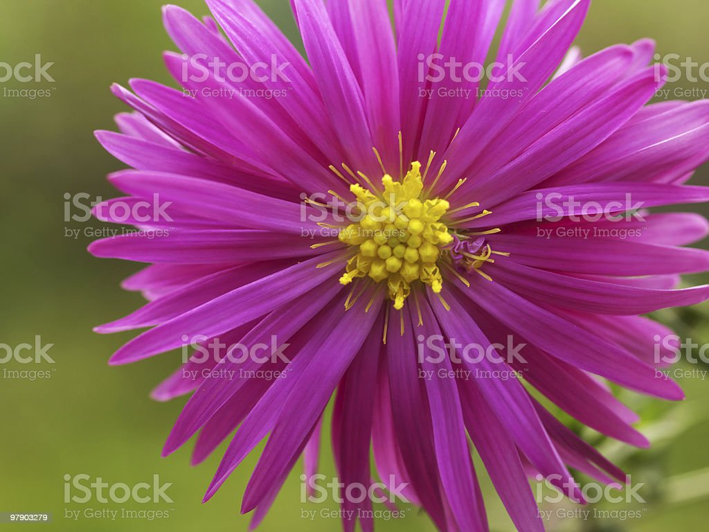 Perennial aster royalty-free stock photo
