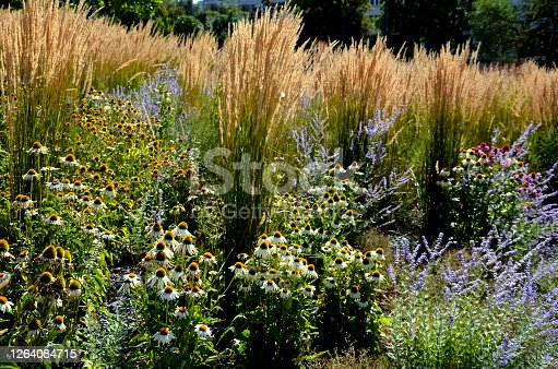 perennial, flower bed, mulched, dark, stone, black, grass, ornamental, predominance, grases, clamangrostis, acutiflora, karl, foerster, perowskia, atriplicifolia, blue, sage, sedum, telephium, echinecea, prarie, sun, yellow, red, matrona, brown, helenium, sombrero, primadonna, white, steppe, tree, poles, pavement, orange, bush, shrub, park, garden, landscaping, gaura, lindheimeri, gray, close up, nature, flower, green