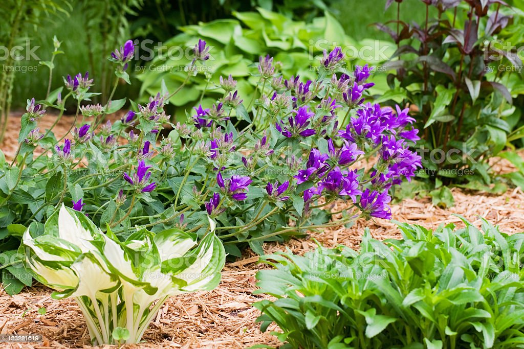 Perennial Flower Garden with Mulch royalty-free stock photo