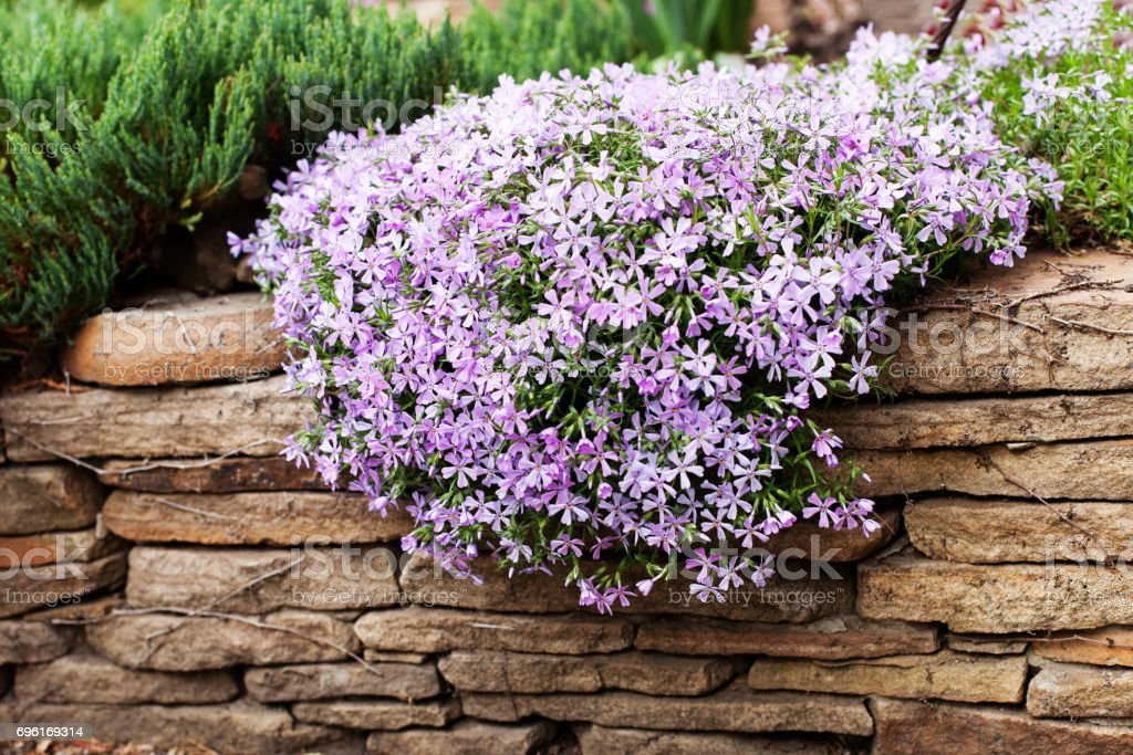 planta de flora o perene tampa terra rastejando flox phlox subulata ou musgo de phlox sobre o. Black Bedroom Furniture Sets. Home Design Ideas