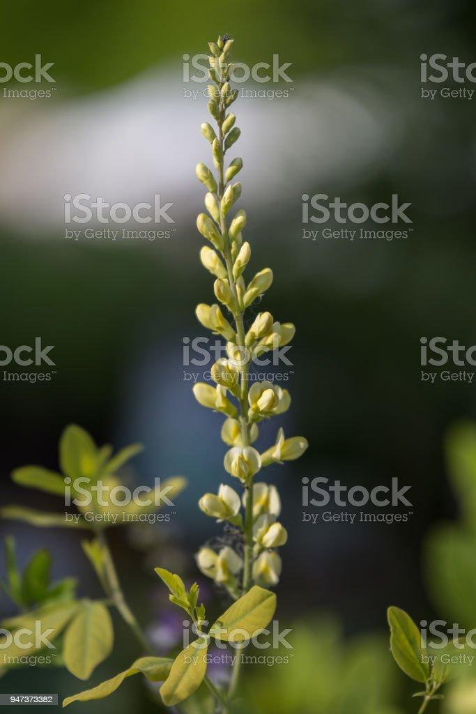 Perennial Herb, Beautiful Efflorescence in the Garden stock photo
