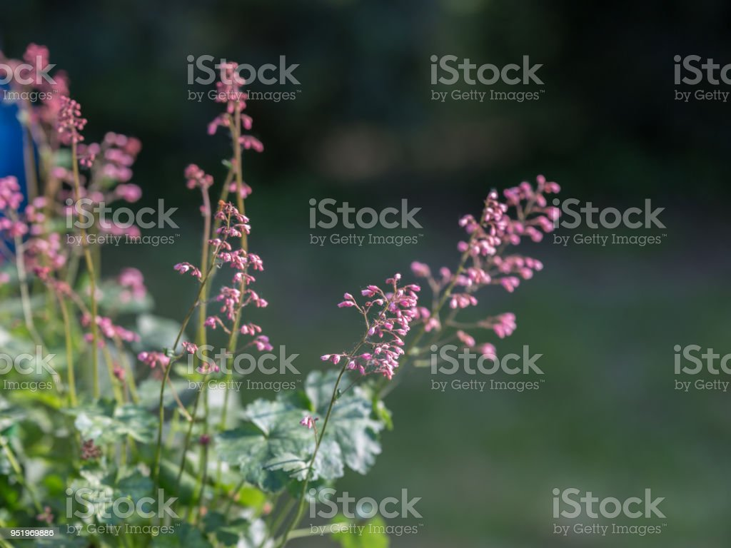 Perennial Herb with Beautiful Purple Efflorescence in the Garden stock photo