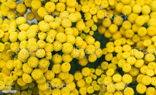 Photo of Perennial herb.Tansy (Tanacetum)