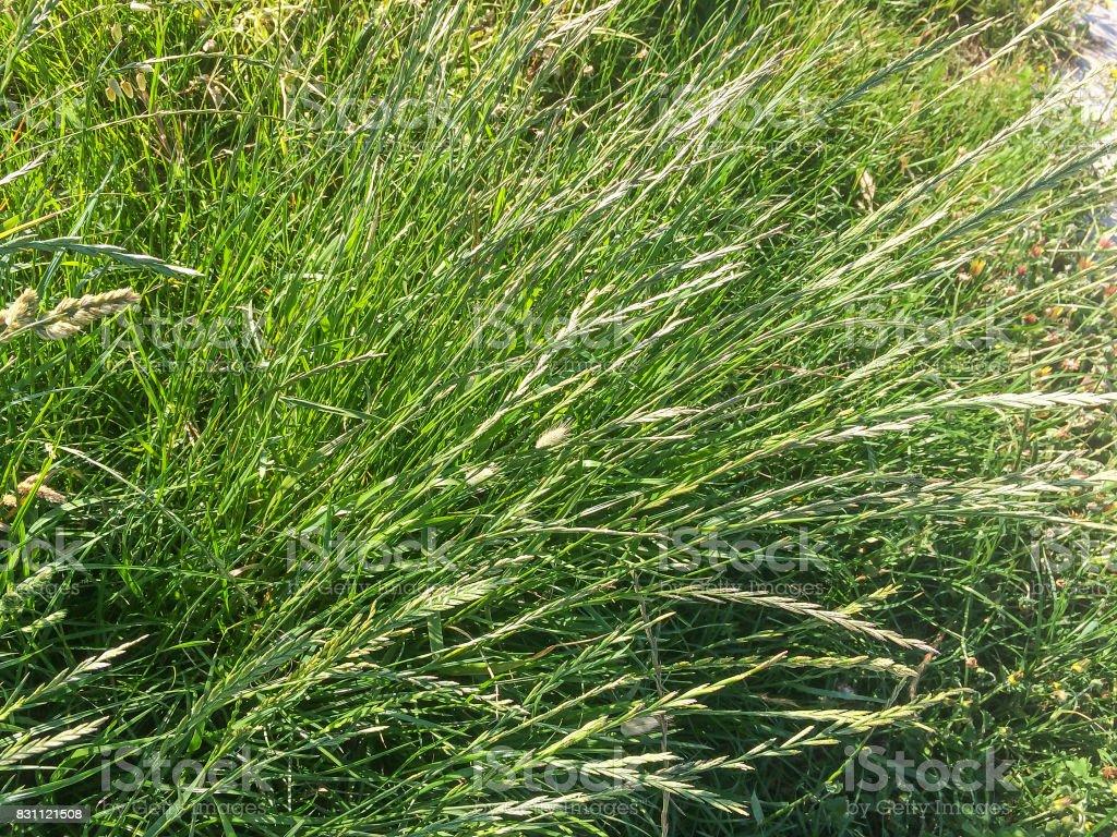 Perennial or winter ryegrass stock photo
