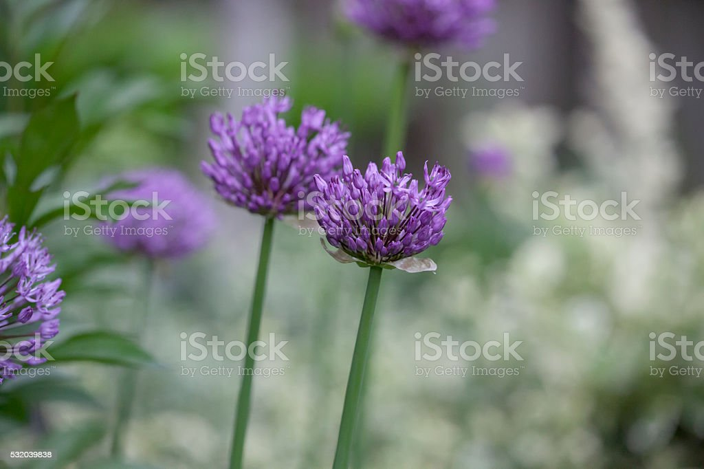 Perennial Plant - Allium stock photo