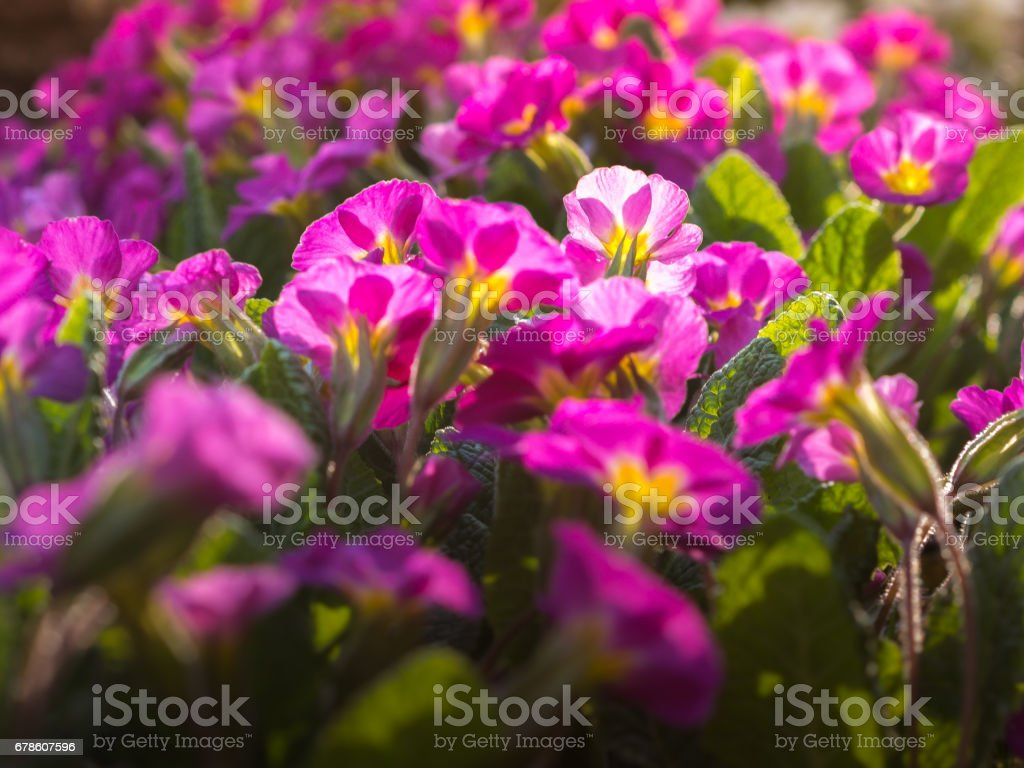 Perennial Primrose Or Primula In The Spring Garden First Flower Of