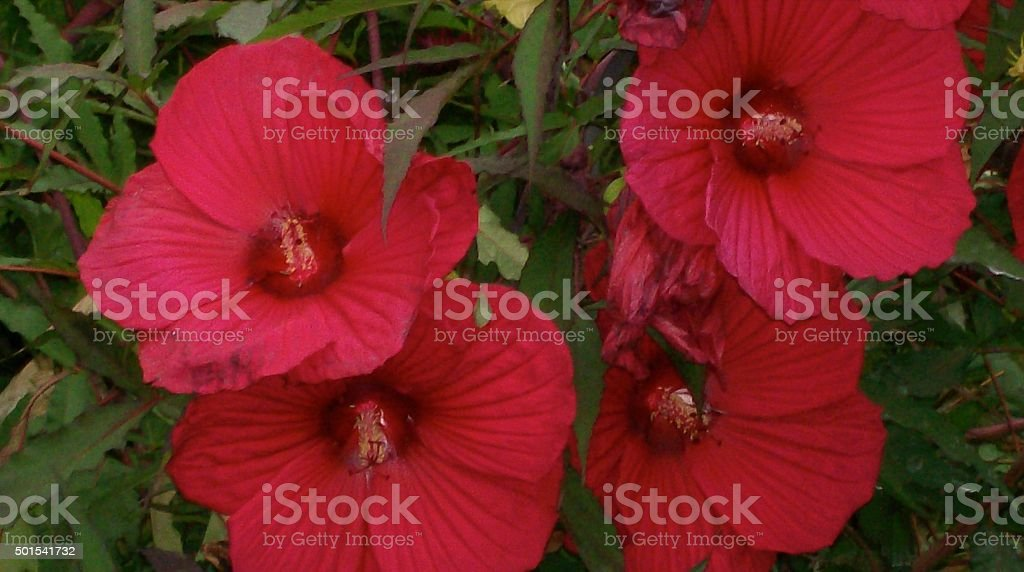 Perennial Red Hibiscus stock photo