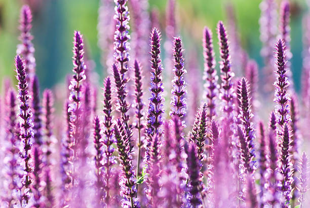 Perennial Sage (Salvia nemarosa), 'Amethyst' - X  perennial stock pictures, royalty-free photos & images