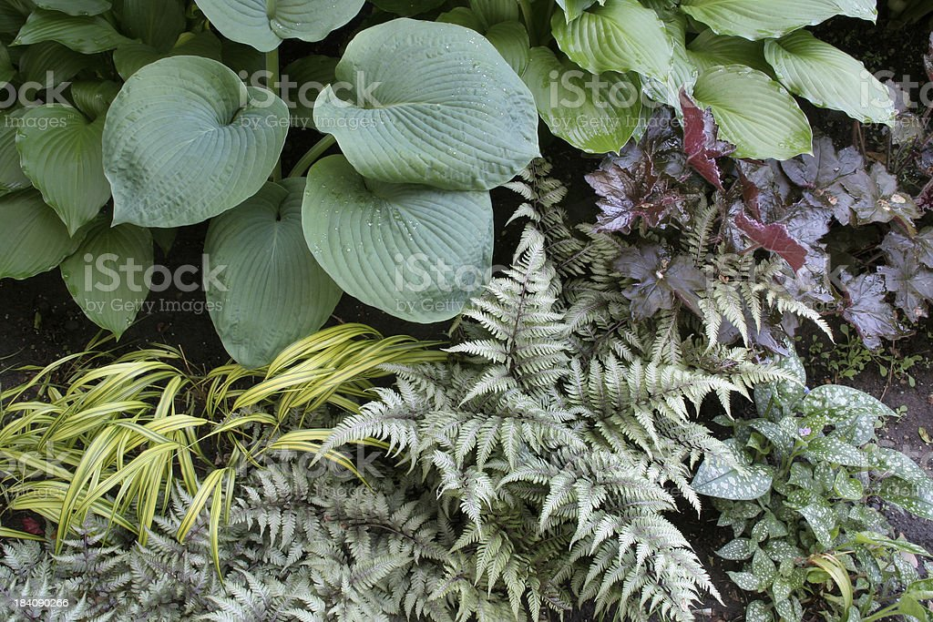 Perennial Shade Garden with Hosta, Japanese Ferns, and Ornamental Grasses stock photo