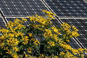 istock Perennial sunflowers in a butterfly garden against a backdrop of solar panels on a bright summer's day. 1262314592