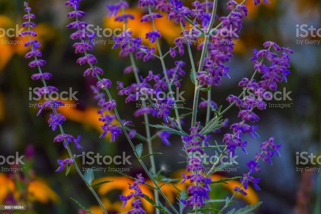 Perennial veronica in front of orange rudbeckia flowers stock photo perennial veronica in front of orange rudbeckia flowers royalty free stock photo mightylinksfo