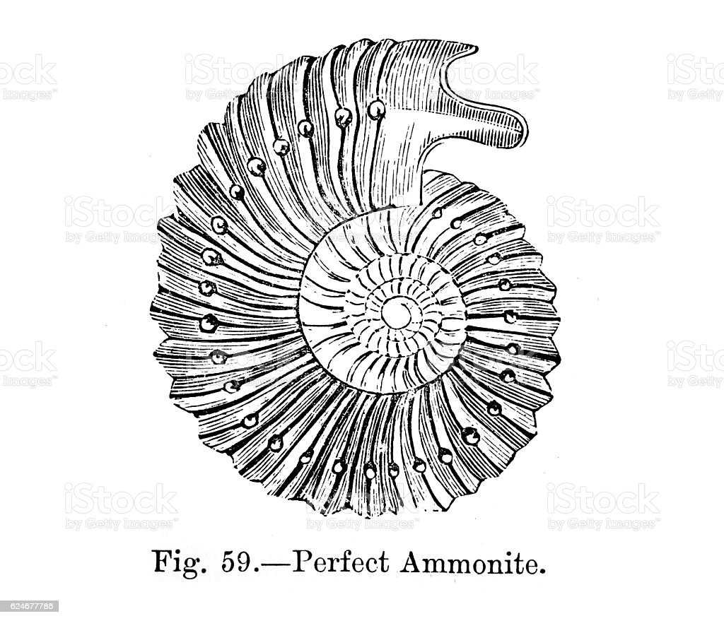 Perfect Ammonite stock photo