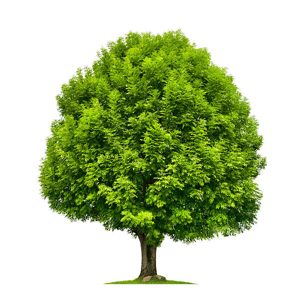 Perfect ash tree isolated on white stock photo