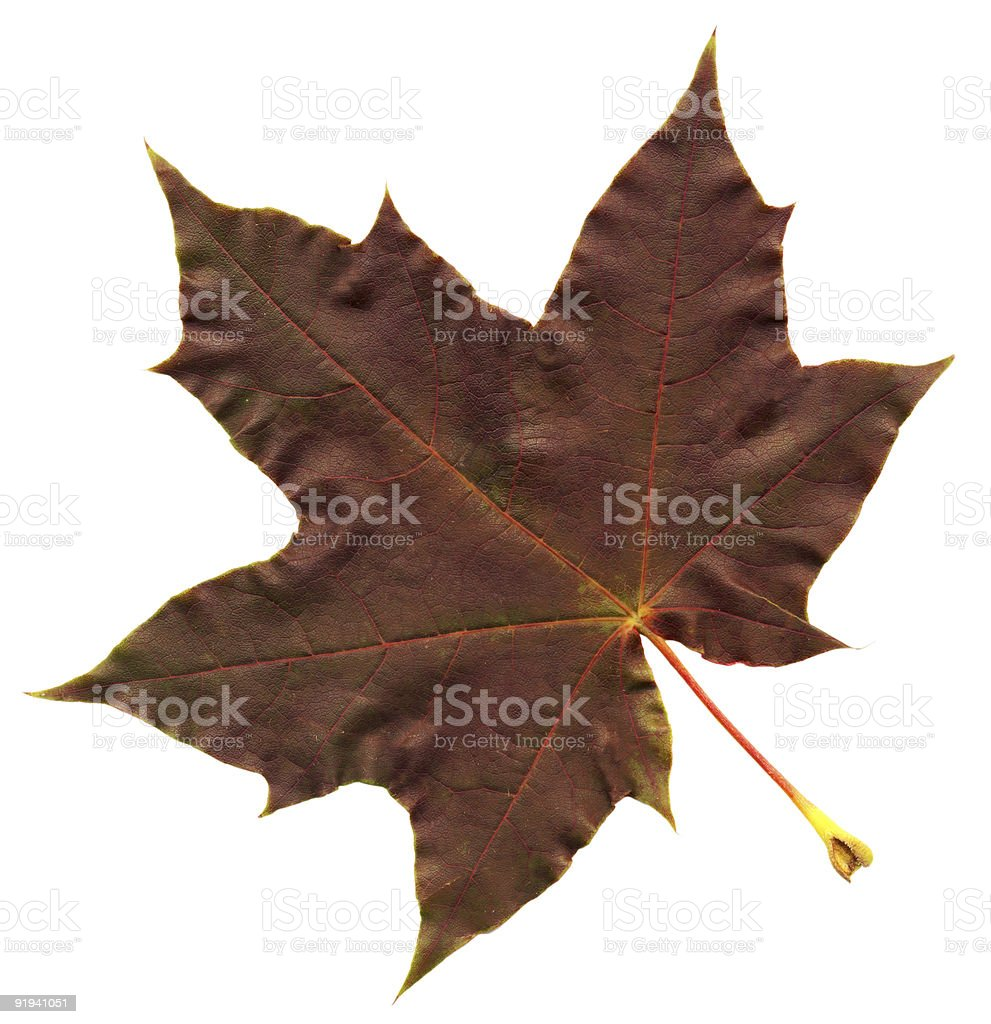 perfect autumnal leaf royalty-free stock photo