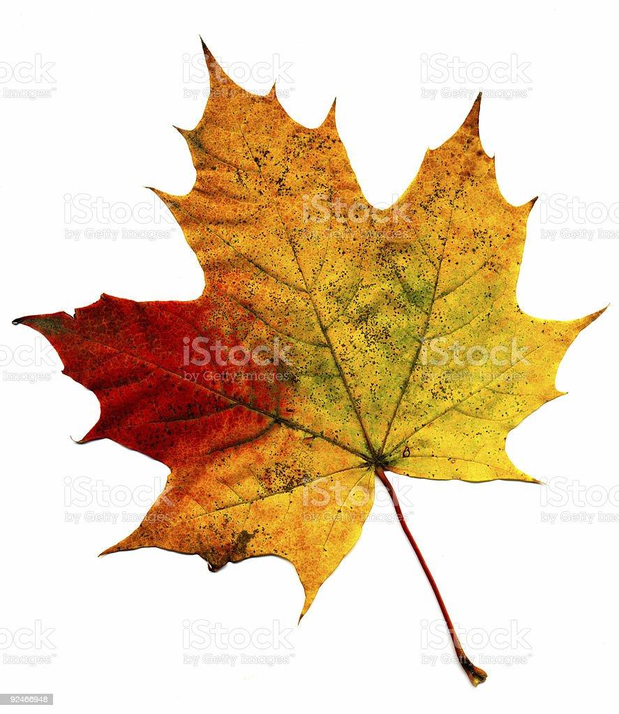 Perfect autumnal leaf stock photo
