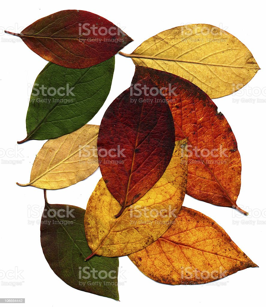 Perfect autumnal leaves stock photo