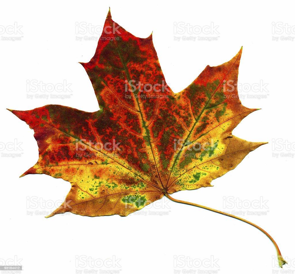 Perfect autumnal maple leaf stock photo