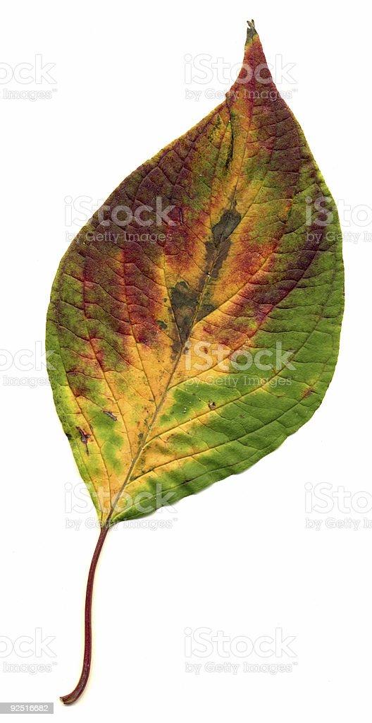 Perfect autumnal oak leaf stock photo