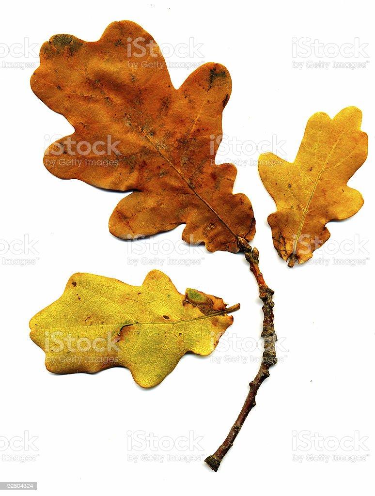 Perfect autumnal oak leaf royalty-free stock photo