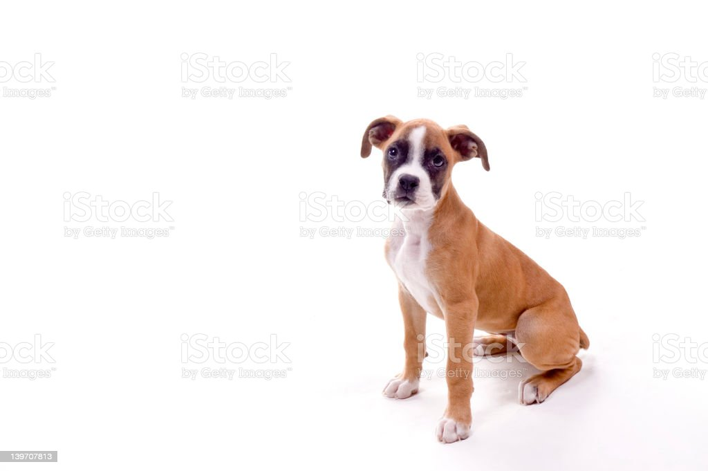 Perfect Boxer Puppy royalty-free stock photo
