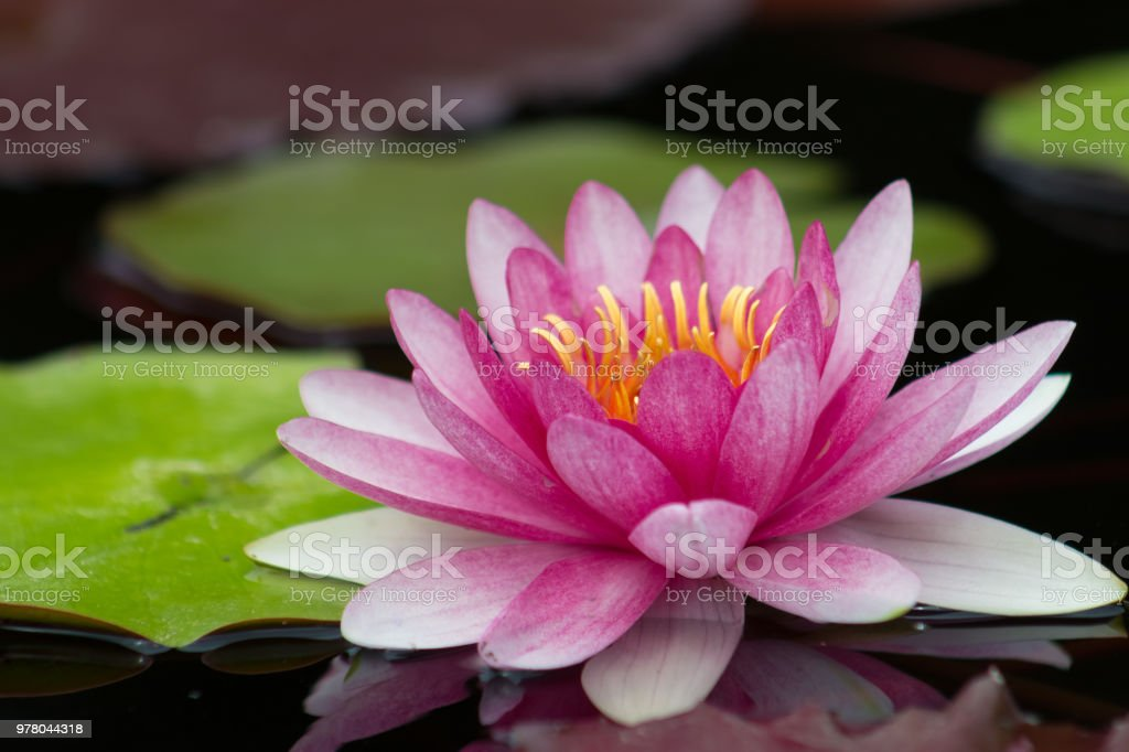 Perfect bright pink water lily in a pond stock photo