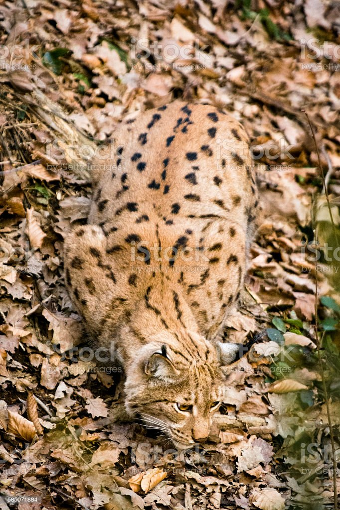 Perfect camouflage - lynx on fallen leaves stock photo
