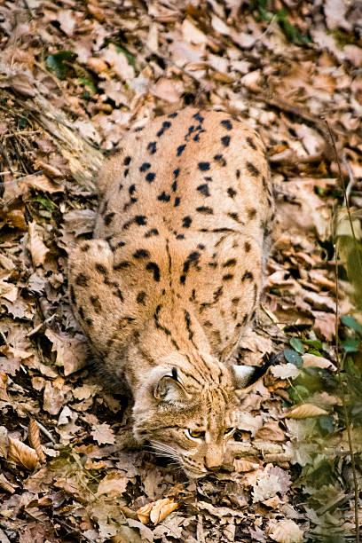 perfect camouflage - lynx on fallen leaves - flecktarn stock-fotos und bilder