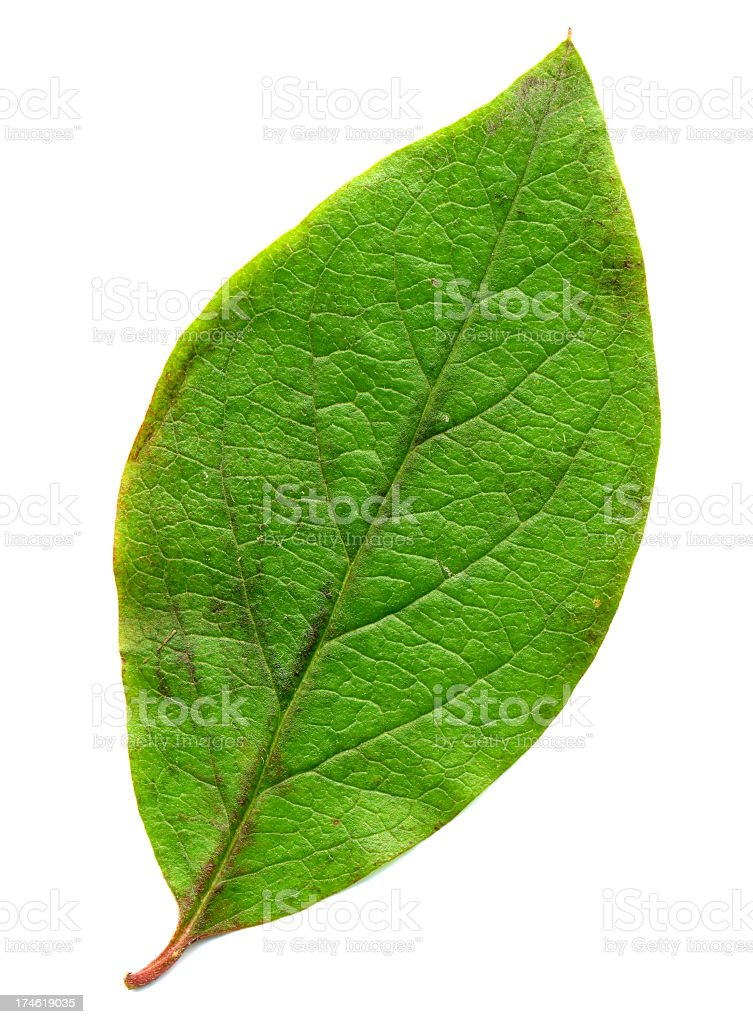 Perfect green leaf royalty-free stock photo