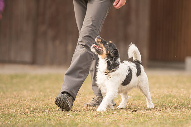 Perfect heelwork with a small jack russell terrier dog – Foto