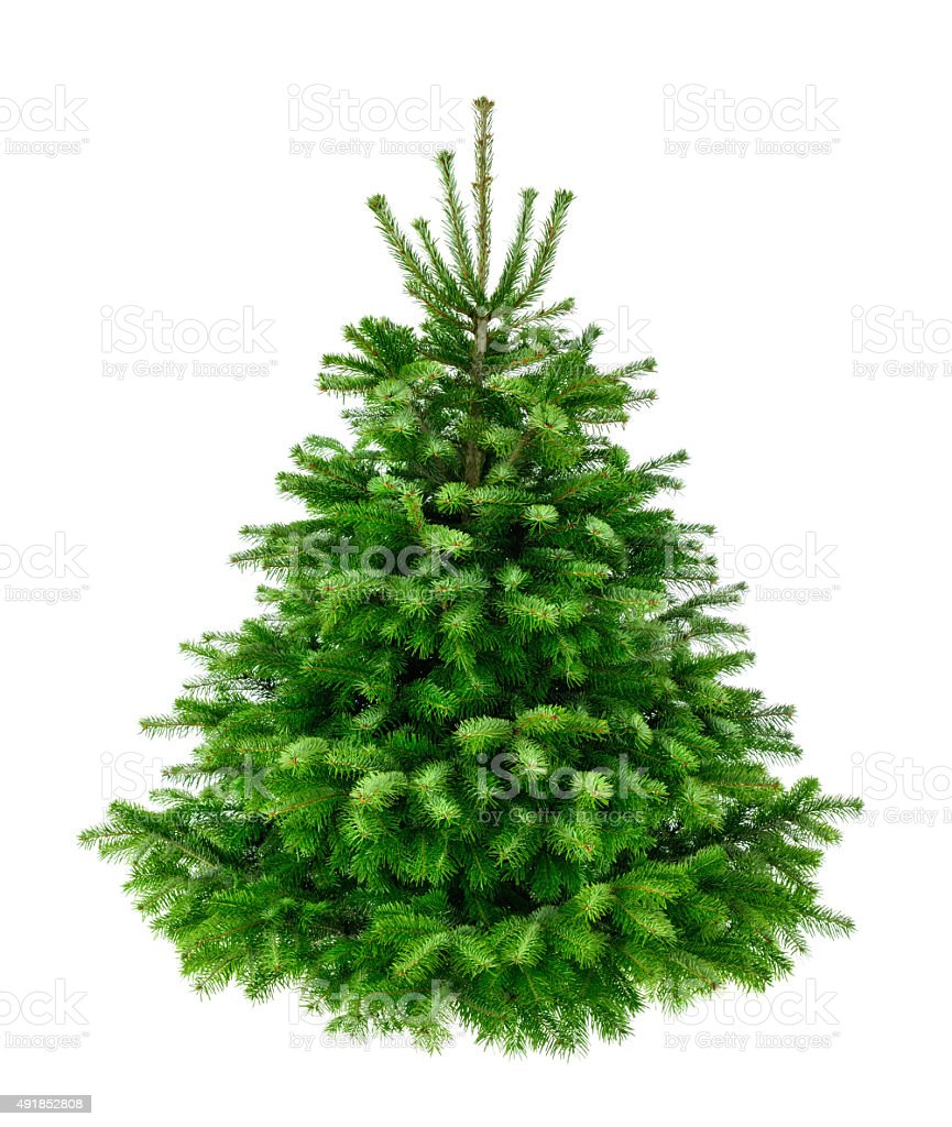 Perfect lush fir tree on pure white stock photo