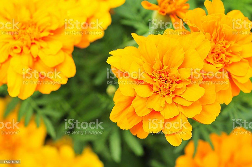 Perfect Marigolds royalty-free stock photo