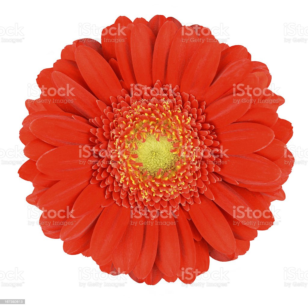Perfect Orange Gerbera Flower Isolated on White royalty-free stock photo
