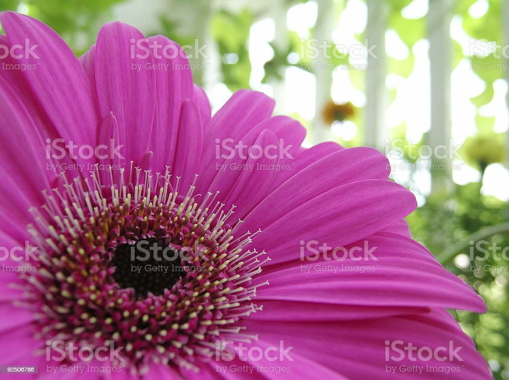 Perfect Pink Flower royalty-free stock photo