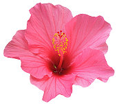 Perfect Pink Hibiscus Flower