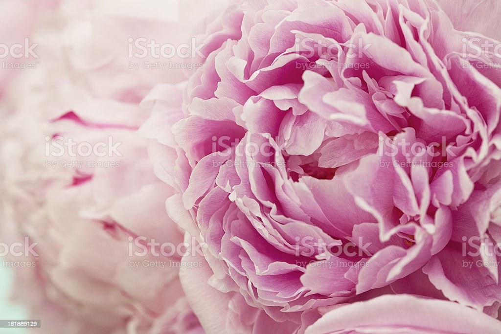 Perfect Pink Peonies stock photo