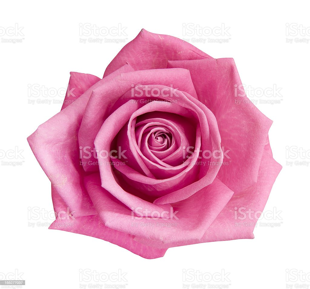 Perfect pink rose royalty-free stock photo