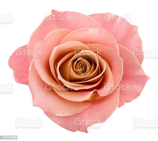 Perfect pink rose picture id157526938?b=1&k=6&m=157526938&s=612x612&h=8sj9fd0qzjqx9jmgnkvk4gtohcyiee ri0flersmjvk=