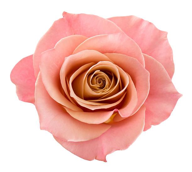 Perfect pink rose picture id157526938?b=1&k=6&m=157526938&s=612x612&w=0&h=lquawwnftkzwtzkkeeeyuvkg5edyzo6v0gjrjuksnge=