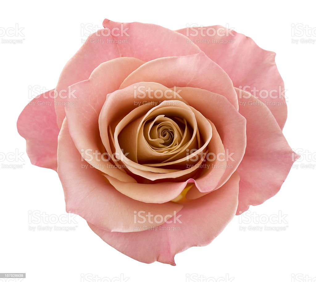 Perfect pink rose stock photo