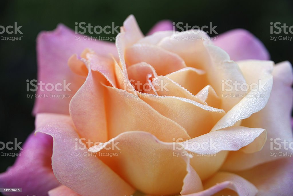 perfect pink rose with little dew drops royalty-free stock photo