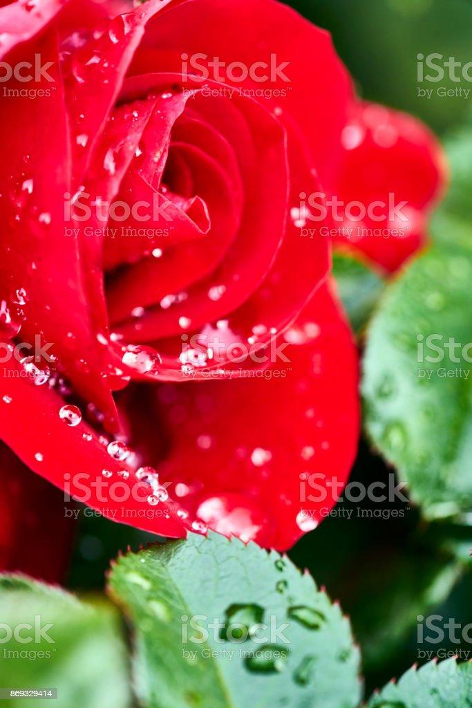perfect raindrops on a beautiful crimson rose stock photo