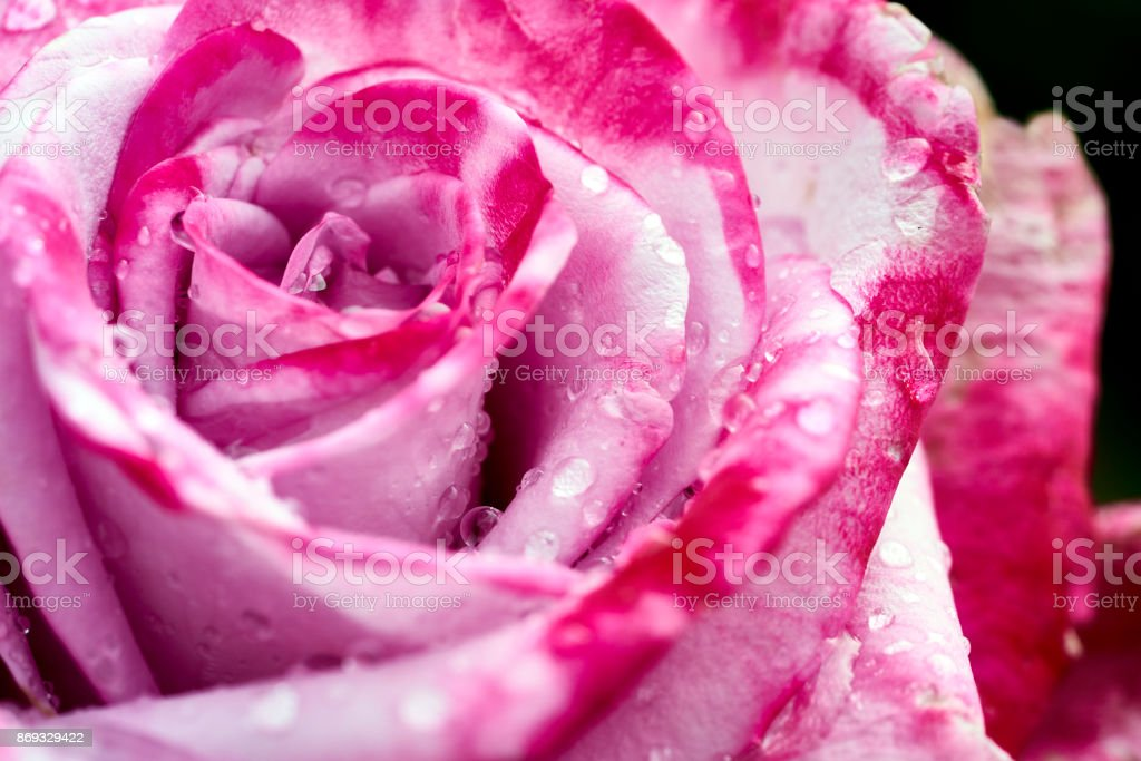 perfect raindrops on a beautiful pink rose stock photo