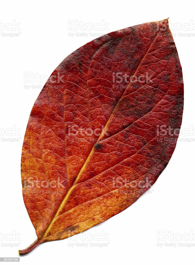 Perfect red autumnal leaf stock photo