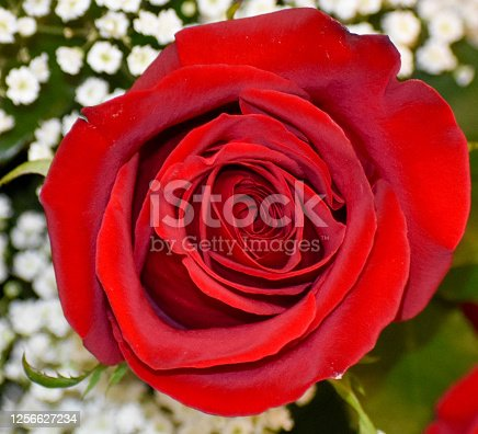 Beautiful perfect red rose of love Weddings ,Anniversaries and Birthdays.