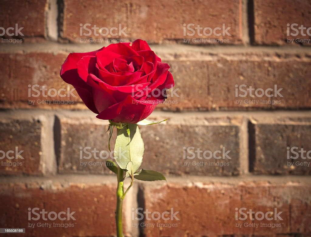 Perfect Red Rose Outdoors, Brick Background stock photo