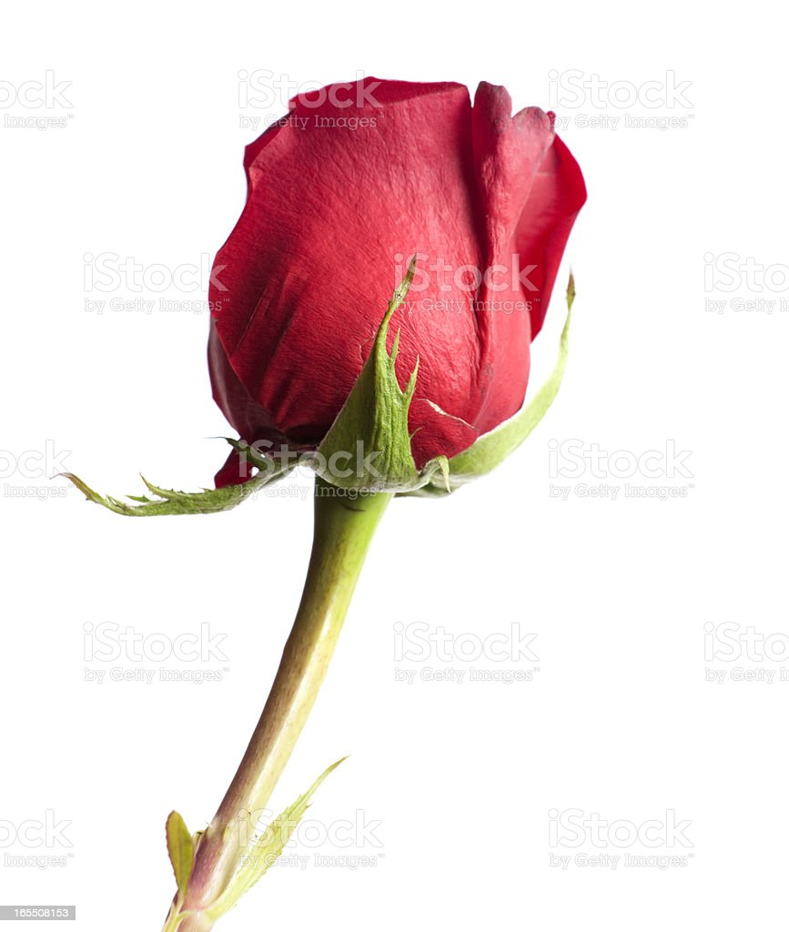 Perfect Red Rose stock photo