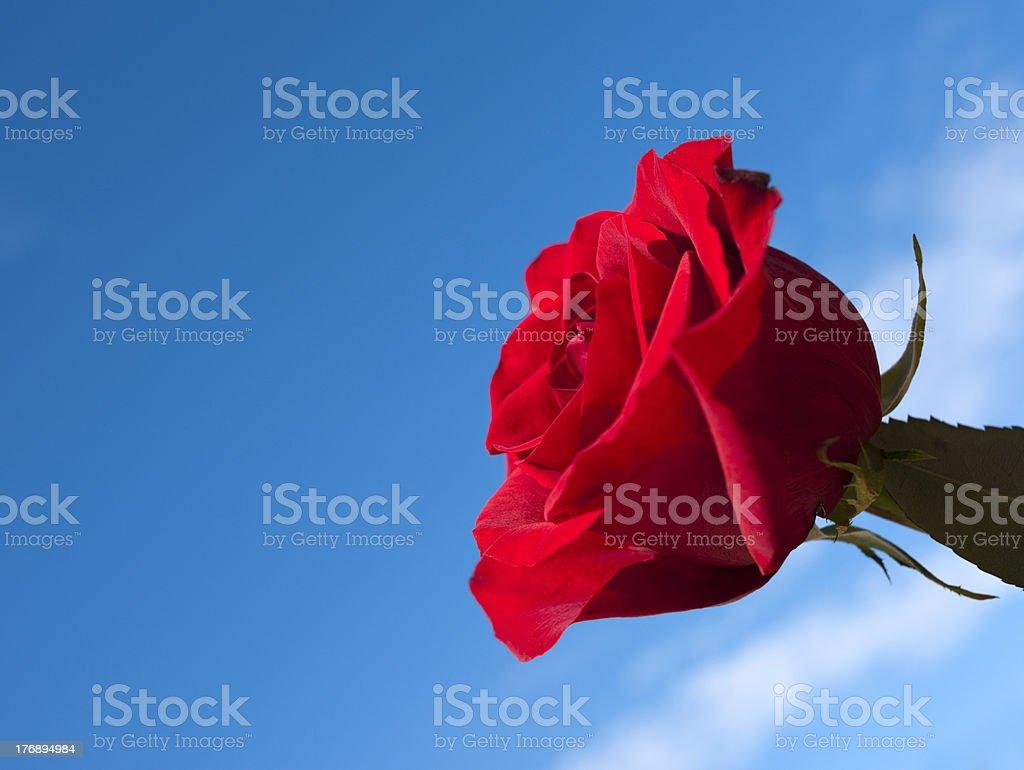 Perfect Rose, Blue Sky stock photo
