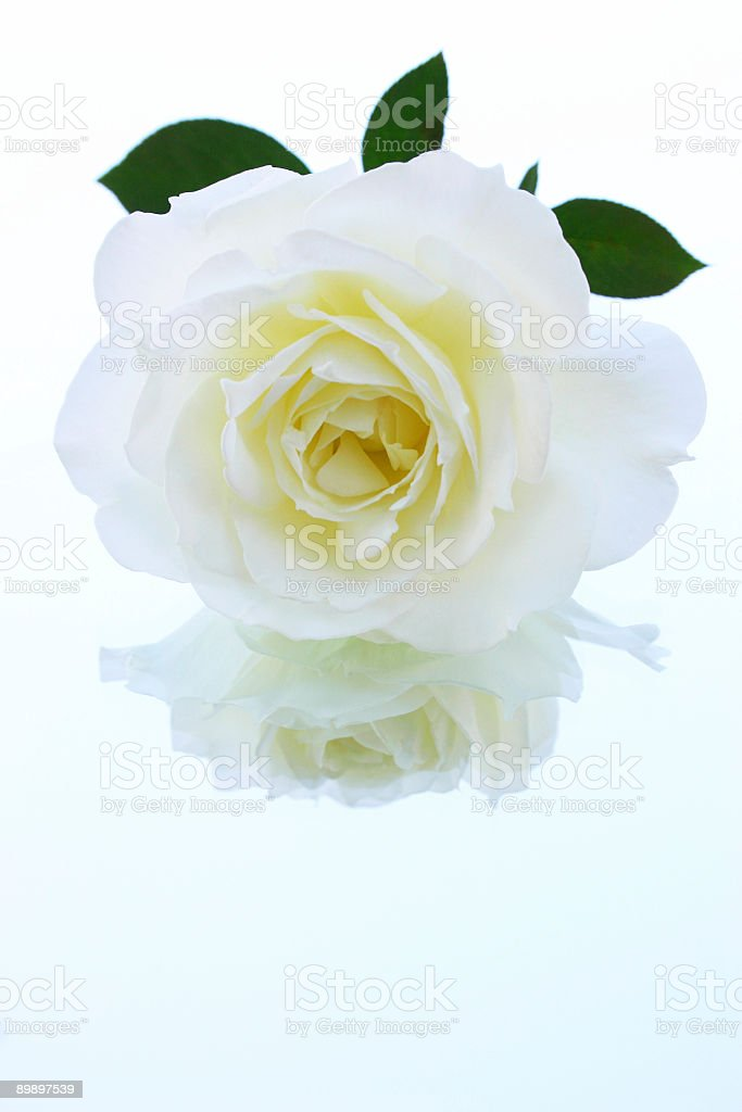 Perfect Rose - Dollar File royalty-free stock photo