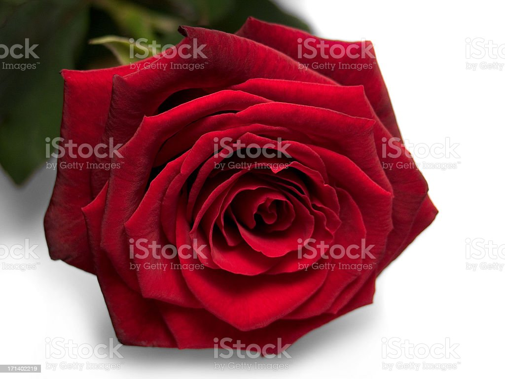 Perfect Rose. Isolated and Cleaned. royalty-free stock photo